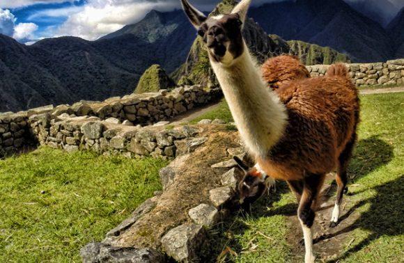 An Introduction to Llamas & Alpacas in Peru