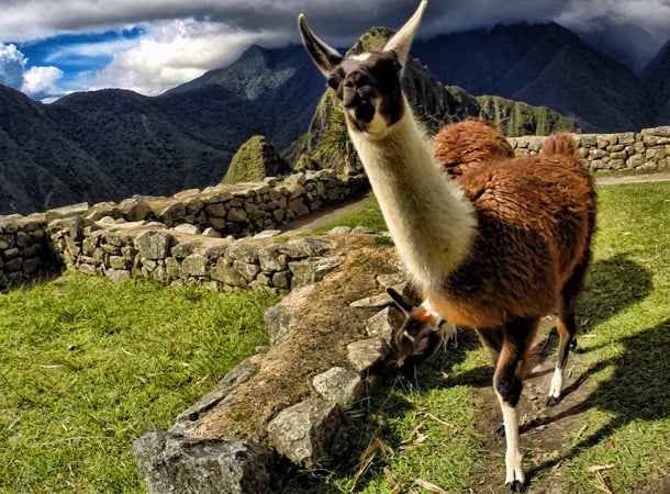 An Introduction to Llamas & Alpacas in Peru