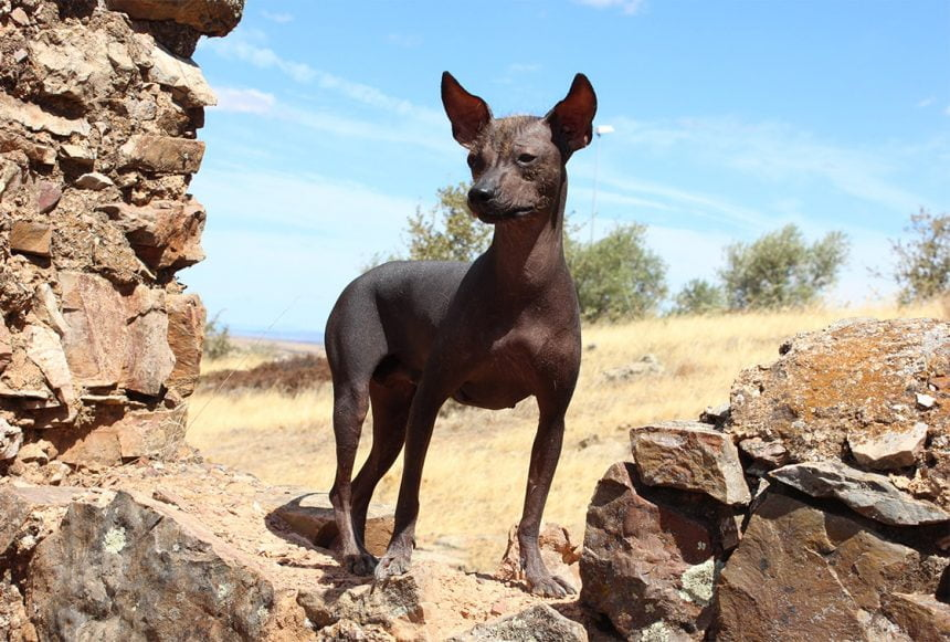 The Unusual Peruvian Hairless Dog