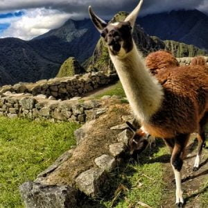 Finding Alpacas or Llamas in Peru