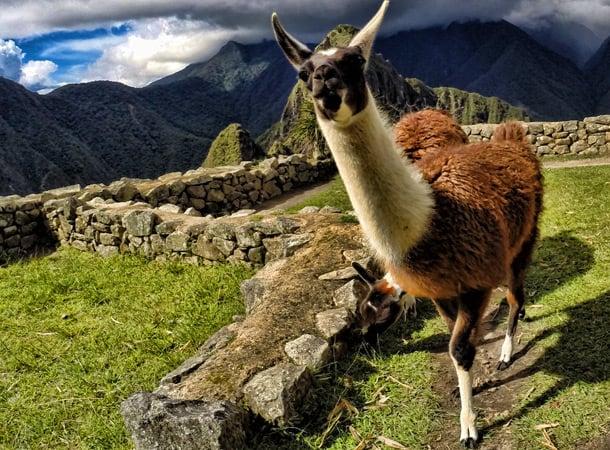 Finding Alpacas or Llamas in Peru