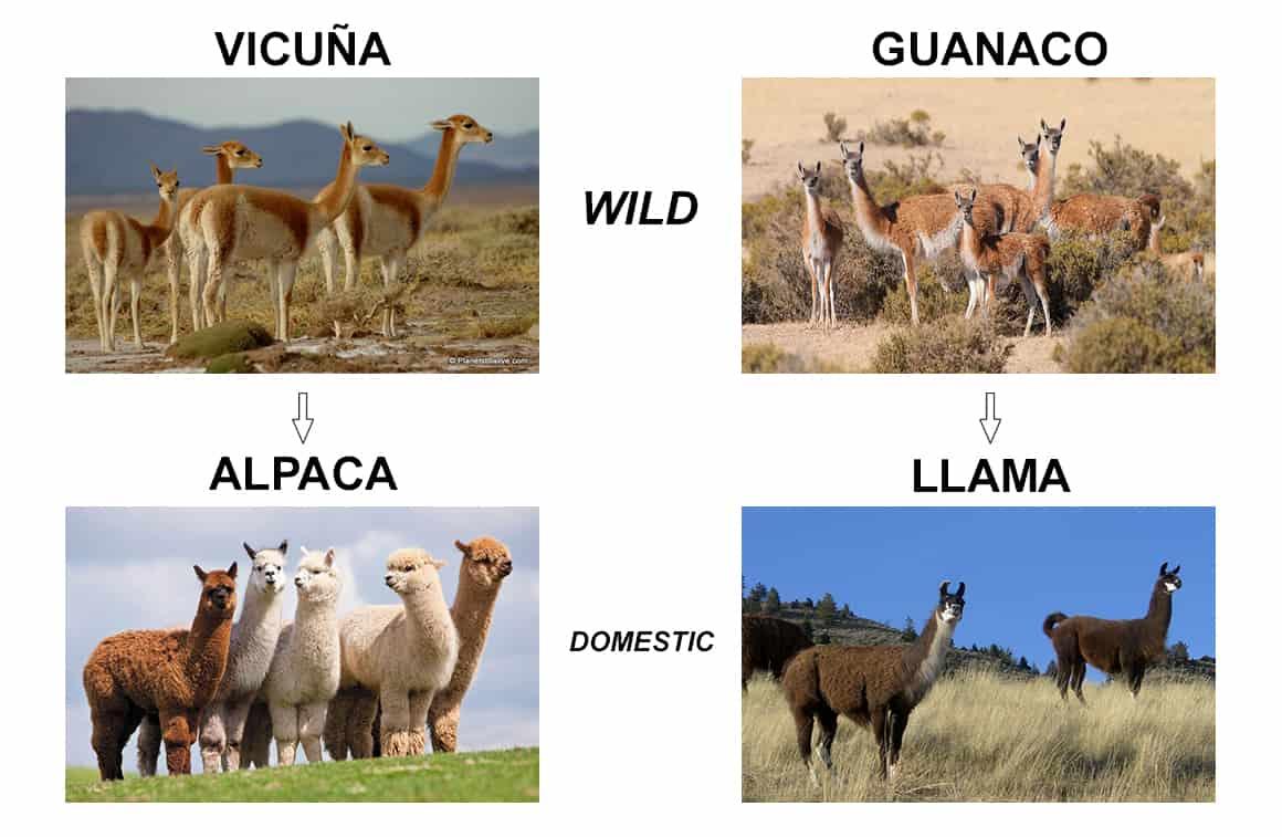 Unterschied von Alpaka und Lama, Vikunja und Guanako