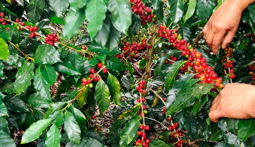 Uchunari Coffee – Peruvian Poop Coffee