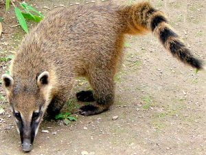 Coati - Peruvian Poop Coffee