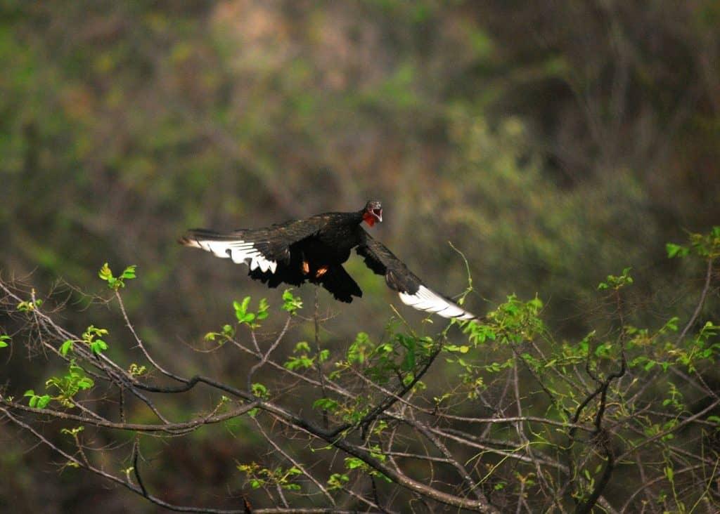 Pava Aliblanca fliegt in Peru
